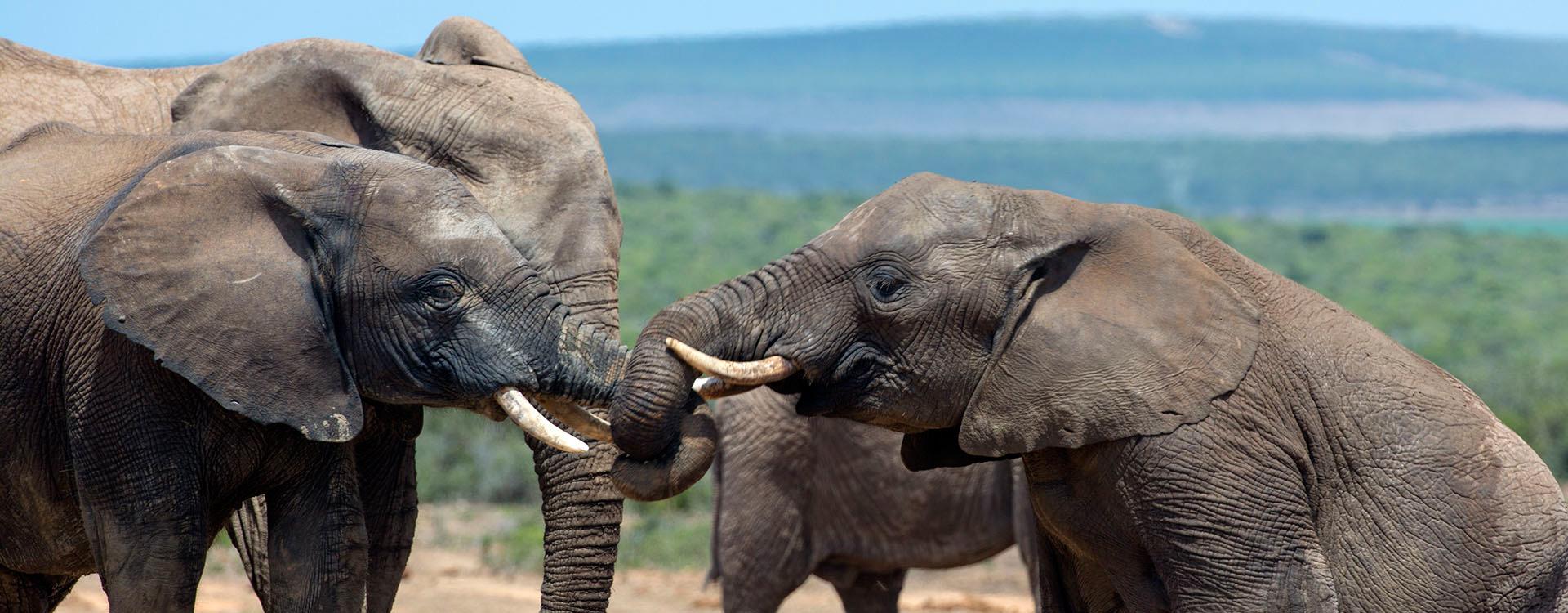 RPA - Park Krugera - Słonie