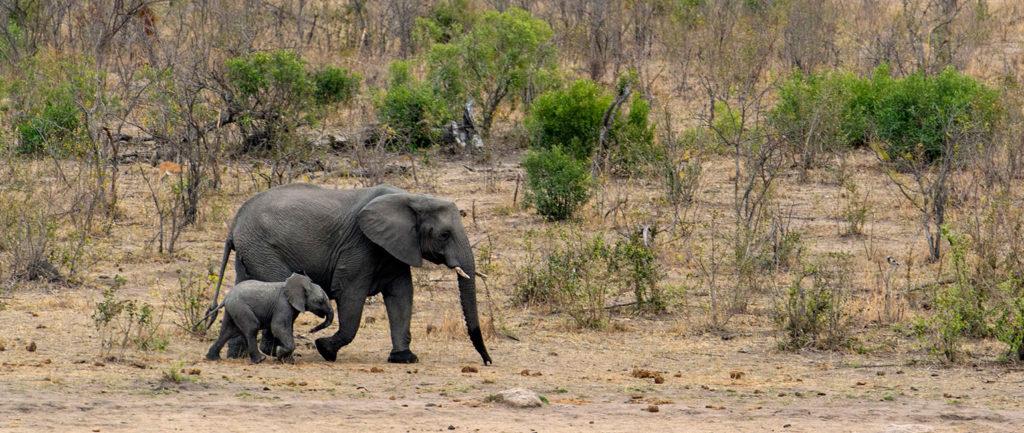 RPA safari, słonie