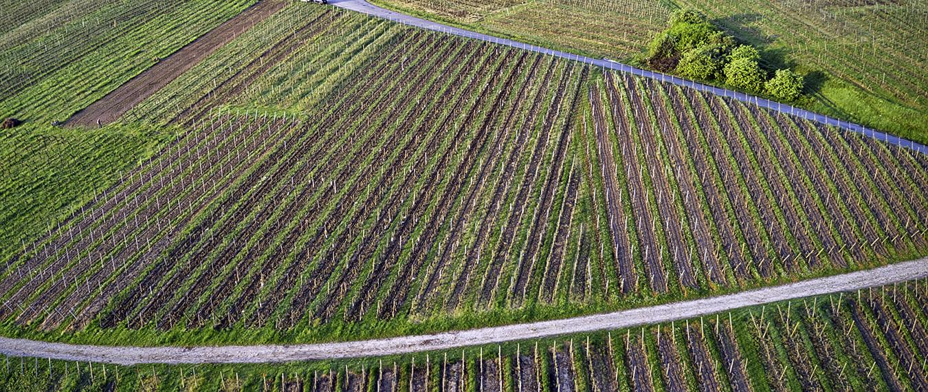 Alzacja Ribeauville winnice